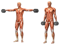 Muscles Targeted by Shoulder Exercises